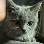 british short hair blue kitten